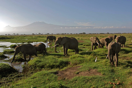 Elephants with Kili in background